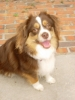 Miniature Australian Shepherd, 22mos, Red Tri